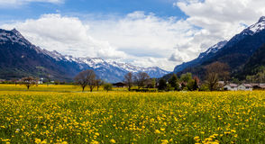 Het gebied van de paardebloem, Zwitserland Stock Afbeeldingen