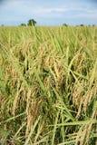 Het gebied van de padie. Stock Foto