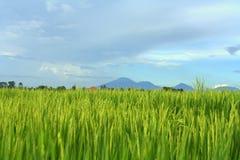 Het gebied van de padie in Bali Stock Fotografie