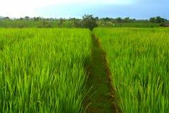 Het gebied van de padie in Bali Royalty-vrije Stock Foto's
