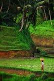 Het Gebied van de padie Bali stock afbeeldingen