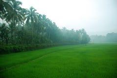 Het gebied van de padie in de ochtend Royalty-vrije Stock Foto