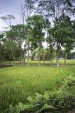 Het Gebied van de padie met Blauwe Hemel stock afbeeldingen