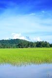 Het gebied van de padie van Sabah Stock Afbeeldingen