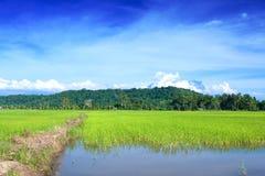 Het gebied van de padie van Sabah Stock Foto