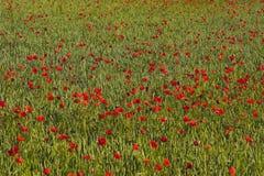 Het Gebied van de papaver - Rood stock afbeelding