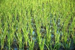 Het gebied van de rijst Royalty-vrije Stock Afbeeldingen