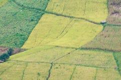 Het gebied van de rijst en van het graan stock foto