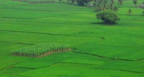 Het gebied van de rijst en van het suikerriet royalty-vrije stock afbeeldingen