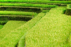 Het gebied van de rijst errace, Ubud, Bali, Indonesië royalty-vrije stock fotografie