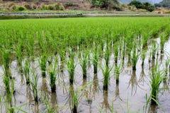 Het gebied van de rijstzaailing Royalty-vrije Stock Foto