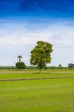 Het gebied van de rijstzaailing Royalty-vrije Stock Afbeeldingen