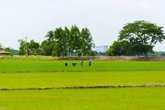 Het gebied van de rijstzaailing Royalty-vrije Stock Afbeelding