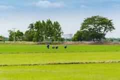 Het gebied van de rijstzaailing Royalty-vrije Stock Fotografie