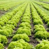 Het Gebied van de salade Stock Fotografie