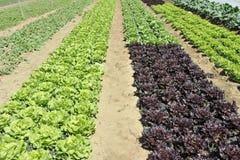 Het Gebied van de salade Stock Foto's