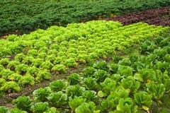 Het gebied van de salade en van de kool Stock Afbeelding
