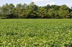 Het Gebied van de sojaboon stock afbeeldingen