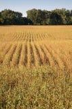 Het Gebied van de sojaboon Stock Foto