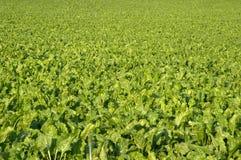 Het gebied van de suikerbiet Stock Fotografie