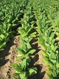 Het gebied van de tabak Stock Foto