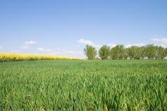 Het gebied van de tarwe. Royalty-vrije Stock Fotografie