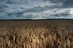 Het gebied van de tarwe royalty-vrije stock afbeelding