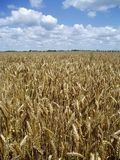 Het gebied van de tarwe Stock Foto
