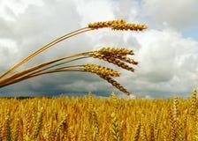 Het gebied van de tarwe. Royalty-vrije Stock Foto's