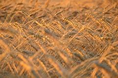 Het gebied van de tarwe stock afbeeldingen