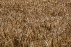 Het gebied van de tarwe Stock Foto's