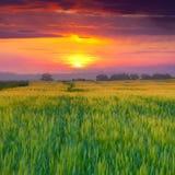 Het gebied van de tarwe bij de zomer Royalty-vrije Stock Foto's