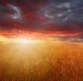 Het gebied van de tarwe bij de zonsondergang Stock Afbeelding