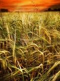 Het gebied van de tarwe bij zonsondergang Stock Foto