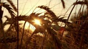Het gebied van de tarwe bij zonsondergang stock videobeelden