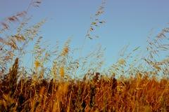 Het gebied van de tarwe bij zonsondergang Royalty-vrije Stock Afbeeldingen