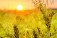 Het gebied van de tarwe bij zonsondergang Stock Foto's