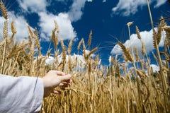 Het gebied van de tarwe in blauwe de zomerhemel Stock Foto's