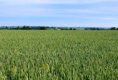 Het gebied van de tarwe, cultuur van graangewassen Stock Fotografie