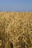 Het gebied van de tarwe in de Krim Stock Afbeelding