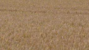 Het gebied van de tarwe in de zomer stock videobeelden