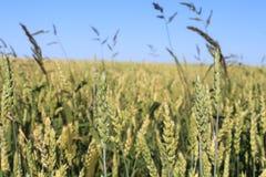 Het gebied van de tarwe in de zomer Royalty-vrije Stock Fotografie
