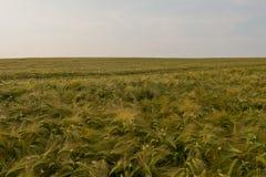 Het gebied van de tarwe in de zomer Royalty-vrije Stock Foto's