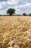Het gebied van de tarwe in de zomer met blauwe hemel royalty-vrije stock fotografie
