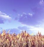 Het gebied van de tarwe in de zonsondergang Royalty-vrije Stock Foto's