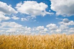 Het gebied van de tarwe en bewolkte blauwe hemel Stock Afbeelding