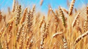 Het Gebied van de tarwe en blauwe hemel stock video
