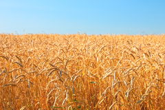 Het Gebied van de tarwe en blauwe hemel Stock Foto
