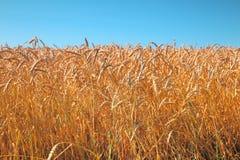 Het Gebied van de tarwe en blauwe hemel Stock Afbeeldingen