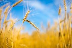 Het Gebied van de tarwe en blauwe hemel Royalty-vrije Stock Afbeeldingen